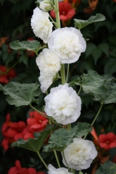Double Hollyhocks and Trumpet vine