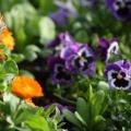 pansies and calendula