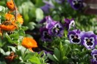 Pansies and Calendula