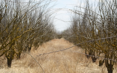 Drought - dead orchard