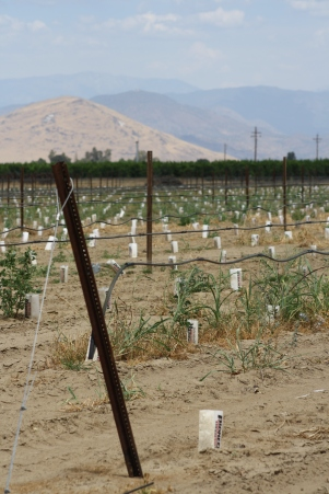 Drought - moribund orchard