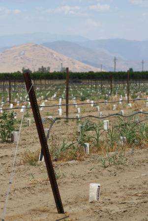 Drought - moribund orchard