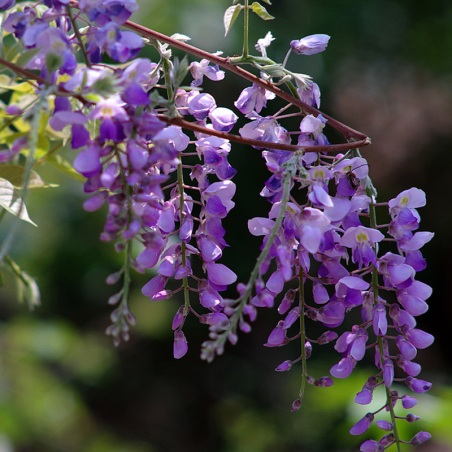 Bulk-Wisteria-sinensis-seed-beautiful-spring-flowers-Climbing-Flower-wisteria-100-true-seed-10-pcs-bag