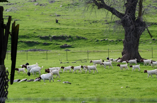 Hills and Goats