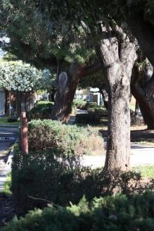 The pines in the cul-de-sac
