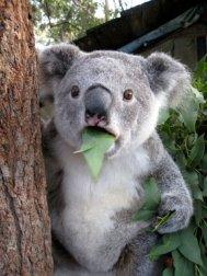Cute-koala-surprise