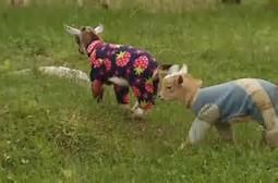 goats in pajamas - globalnew.ca