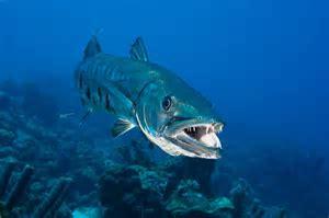 barracuda nydailynews.com